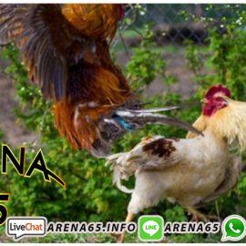 Bonus Besar Sabung Ayam Club388