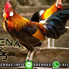 Agen Laga Ayam Bangkok S128