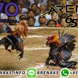 Agen Live Sabung Ayam Online 24 Jam