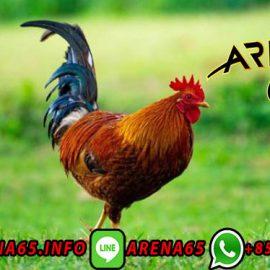Bandar Judi Adu Ayam Online Indonesia Terbaik