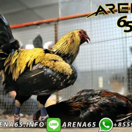Agen Judi Sabung Ayam Online 2020