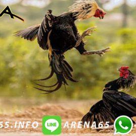 Permainan Sabung Ayam Online 24 Jam Pertandingan