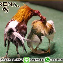 Link Aplikasi S128 Sabung Ayam