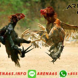 Agen Sabung Ayam Online Deposit Pulsa Indosat