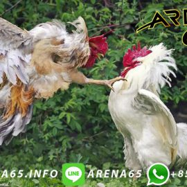 Bandar Sabung Ayam Online Freechip Kemerdekaan